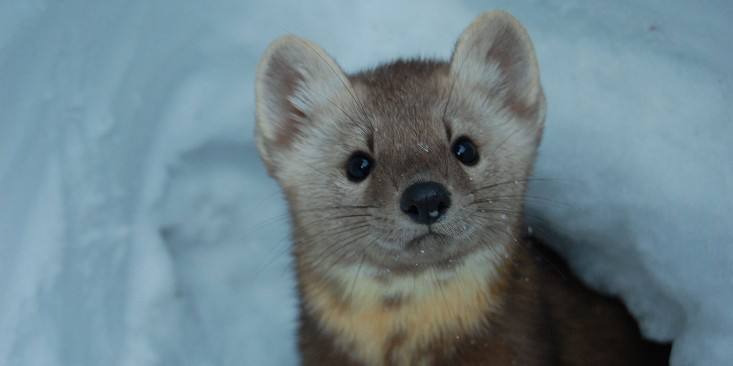 Garrett , the Pine Marten watches for Ravens